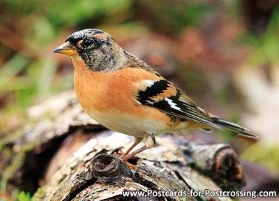 ansichtkaart Keep kaart, bird postcard Brambling, Waldvögel Postkarte Bergfink
