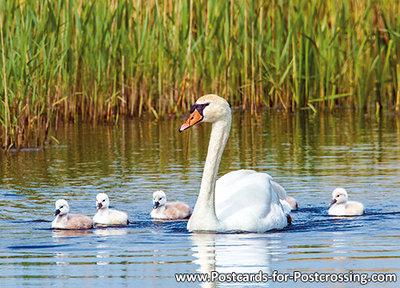vogelkaarten, Knobbelzwaan, postcard Mute swan, vögel Postkarte Höckerschwan