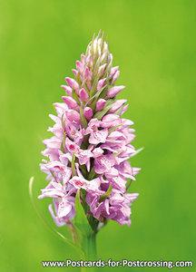 Ansichtkaart Wilde orchidee kaart, Wild orchid postcard, Postkarte Wilde Orchidee