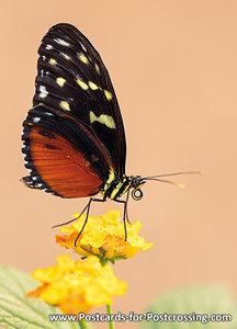 Heliconius vlinder kaart / ansichtkaart