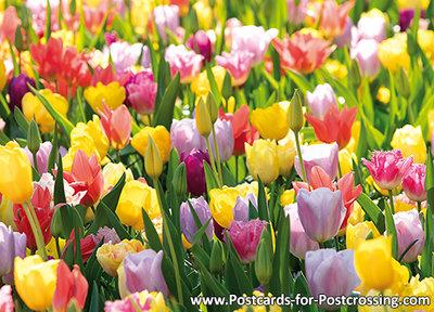 Tulpenveld kaart / tulpenveld ansichtkaart