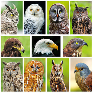 kaartenset roofvogels - Owl / Raptor postcard set - Greifvögel Postkarten Set