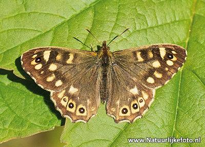 Bontzandoogje vlinder kaart