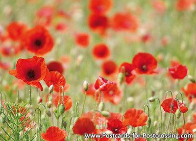 ansichtkaart klaproos kaart - postcard papaver - Blume Postkarte Mohn