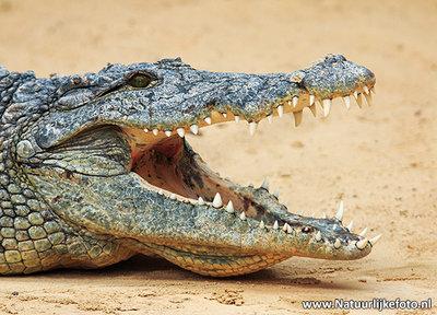 Krokodil kaart - ansichtkaart krokodil