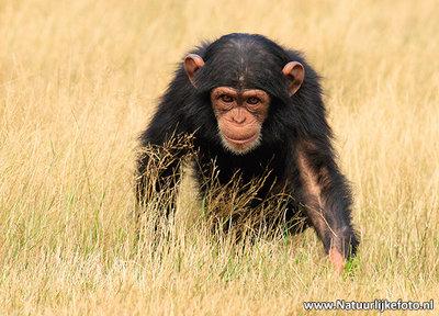 Ansichtkaart Chimpansee