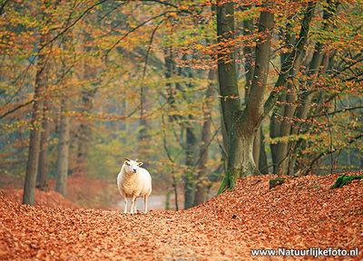 Ansichtkaart schaap in de herfst