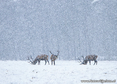 ansichtkaart Edelherten in de sneeuw
