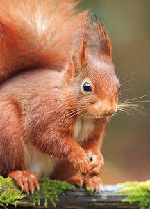 Dierenkaarten eekhoorn