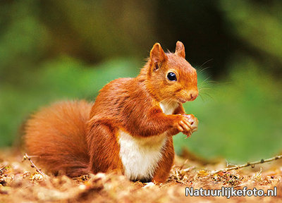 eekhoorn kaart, postcards wild animals Red squirrel, Eichhörnchen Postkarte Wilde Tiere