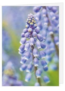 Dubbele blanco wenskaart Blauwe druifjes