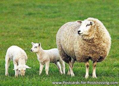 dieren kaarten ansichtkaart Schaap, animal postcards sheep, Tiere postkarten Schafe