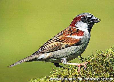 Ansichtkaart huismus, postcard House sparrow, Postkarte Haussperling