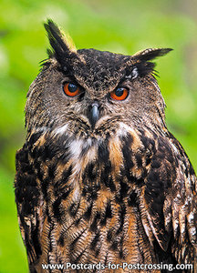 vogelkaarten ansichtkaartvogel Europese Oehoe, owl postcards Eurasian eagle owl, postkarte Eulen Uhu