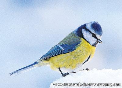 goedkope kerstkaarten kopen, ansichtkaart Pimpelmees , bird postcards Eurasian blue tit , Postkarte Vögel Blaumeise