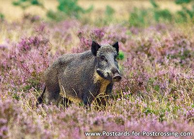 dierenkaarten, ansichtkaarten wilde dieren Everzwijn, postcards wild animals Wild boar, Postkarten Wilde Tiere Wildschwein