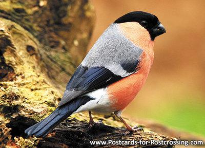 vogelkaarten, ansichtkaart bosvogels Goudvink, forest bird postcard Eurasian bullfinch, Postkarte Gimpel