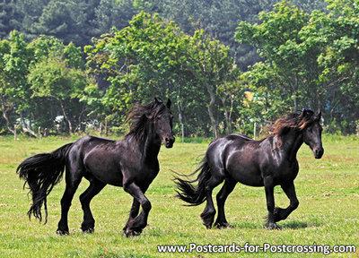 dierenkaarten ansichtkaart Friese paarden, animal postcards Friesian horses, Tiere postkarte Friesen Pferde