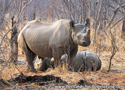 dierenkaarten ansichtkaart dieren Afrika Zwarte neushoorn , postcard Africa Black Rhinoceros, Schwarze Nashorn Postkarte