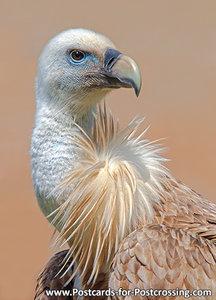 Ansichtkaart Vale gier kaart, Griffon vulture postcard, Postkarte Gänsegeier