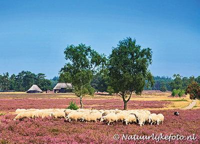 dieren kaarten ansichtkaart schaapskudde op de heide, animal postcards Sheep on the moor, Tiere postkarten Schafe auf der Heide