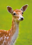 dierenkaart damhert, animal postcard fallow deer, Tierpostkarte Damhirsch