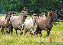 ansichtkaarten dieren Konik paarden, postcards animals Konik horses, Postkarten Tiere Konik Pferde
