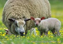 dieren kaarten ansichtkaart schapen, animal sheep postcard , Tiere postkarte Schaf