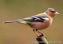 Vogelkaarten ansichtkaart bosvogels vogels vink, forest bird postcard Finch, Waldvögel Postkarte Fink