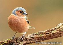 vogelkaarten ansichtkaart bosvogels vogels vink, bird postcardforest Finch, Waldvögel Postkarte Vogel Fink