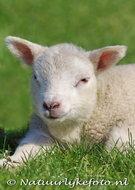 dieren kaarten ansichtkaart Lammetje, animal postcards lamb, Tier postkarte Lamm
