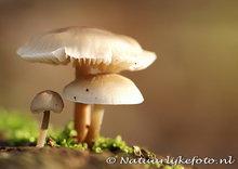 ansichtkaartpaddenstoelen kaart, postcard Autumn mushrooms, postkarte Herbst Pilze