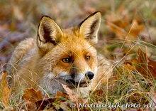 ansichtkaart vos, fox postcard, Fuchs Postkarte