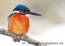 ansichtkaart ijsvogel kaart, bird postcard Kingfisher in winter, Vogel Postkarte  im Eisvogel Winter