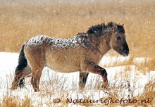goedkope kerstkaarten kopen, ansichtkaart Konikpaard in de winter, postcard animal Konik horse in winter, Postkarte Tiere Konik