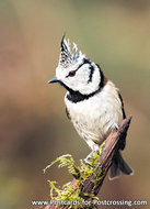 vogelkaart Kuifmees, bird postcards European crested tit, Vogel Postkarte Haubenmeise