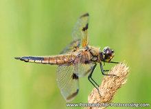 ansichtkaart Viervlek libelle - postcarddragonfly Four spotted chaser - postkarte Vierfleck libelle