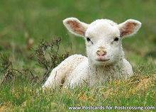 ansichtkaart lammetje, postcard, lamb, postkarte Lamm