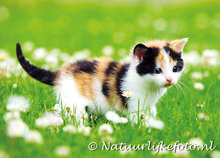 poes in bloemenveld, cat in flower field, Katze in einem Blumenfeld