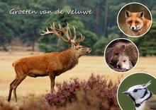 ansichtkaart Edelhert op de Veluwe, postcard deer on the Veluwe, postkarte rotwild auf der Veluwe