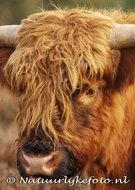 dierenkaart Schotse hooglander, animal postcard Scottish Highlander, Tierpostkarte Schottenmuster